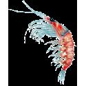 Huile de Krill capsules