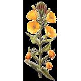 Huile d'Onagre vierge en capsules (Oenothera biennis)