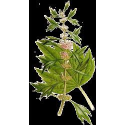 Agripaume plante en gélules