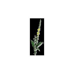 Aigremoine plante en gélules