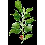 Ashwagandha racine (Whitania somnifera)