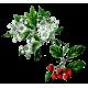 Aubépine Bio en gélules (Crataegus laevigata)
