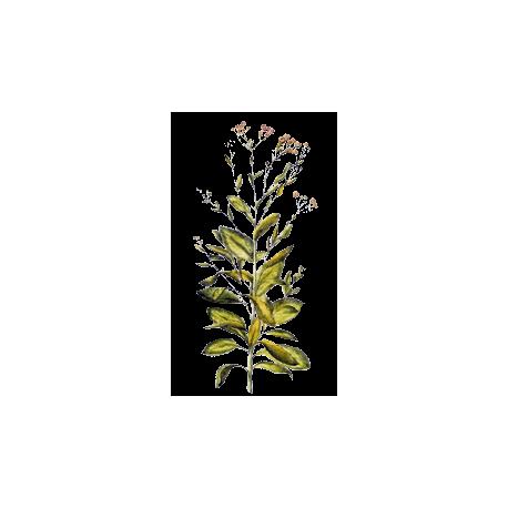 balsamite en g lules abc de la nature herboristerie phytoth rapie. Black Bedroom Furniture Sets. Home Design Ideas