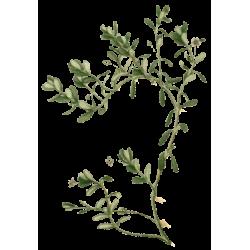 Bacopa Brahmi plante en gélules