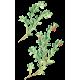 Busserole feuille en gélules (Arctostaphylos uva-ursi)