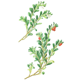 Busserole Bio en gélules (Arctostaphylos uva-ursi)