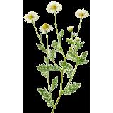 Camomille Romaine fleurs en gélules
