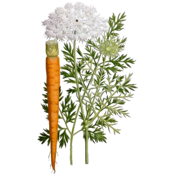 https://www.abcdelanature.com/2441-thickbox/carotte-bio-gelules.jpg