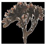 Carragaheen algue en gélules (Chondrus crispus)
