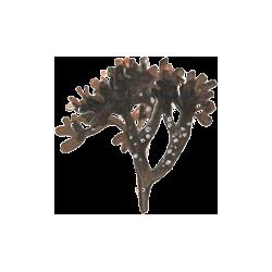 Carragaheen Chondrus crispus en gélules