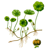 Centella Asiatica Gotu Kola en gélules