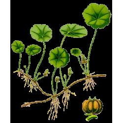 Centella Asiatica en gélules