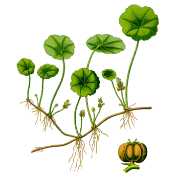 https://www.abcdelanature.com/2449-thickbox/centella-asiatica-gotu-kola.jpg