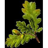 Chêne écorce en gélules (Quercus robur)