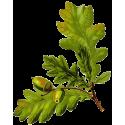 Chêne écorce en gélules