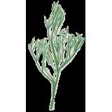 Criste Marine algue en gélules (Chrithmum maritimum)