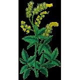 Cimicifuga racemosa extrait en gélules (Cycles féminins)