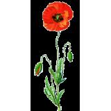 Coquelicot fleurs en gélules (Papaver rhoeas)