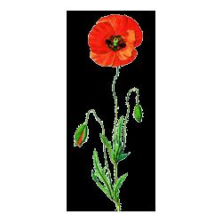 Coquelicot fleurs gélules