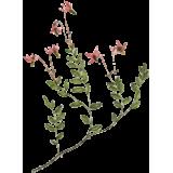 Canneberge Cranberry extrait titré en Proanthocyanidines