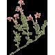 Canneberge Cranberry extrait en gélules