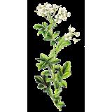 Cresson des Fontaines en gélules (Nasturtium officinal)