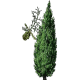 Cyprès noix en gélules (Cupressus sempervirens - Circulation veineuse)