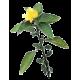 Damiana feuille en gélules (Turnera aphrodisiaca)