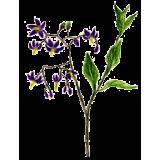 Douce Amère en gélules (Solanum dulcamara)