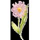 Echinacea purpurea en gélules (Immunité)