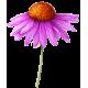 Echinacea purpurea racine BIO en gélules (Immunité)