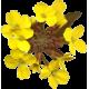 Erysimum Velar en gélules (Sisymbrium officinale)