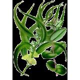 Eucalyptus globulus en gélules (Affections respiratoires)