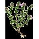 Euphraise en gélules (Euphrasia officinalis)