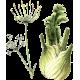 Fenouil en gélules (Foeniculum vulgare)