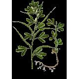 Fenugrec Bio en gélules (Trigonella foenum-graecum)