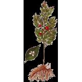 FRAGON Petit Houx en gélules (Ruscus aculeatus)