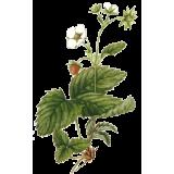 Fraisier racine en gélules (Fragaria vesca)