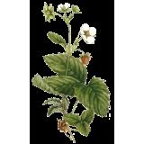 Fraisier feuille en gélules (Fragaria vesca)