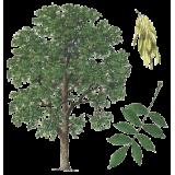 Frêne feuille en gélules (Fraxinus excelsior)