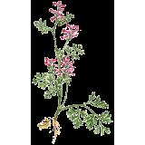 Fumeterre en gélules (Fumaria officinalis)