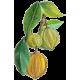 Garcinia Cambodgia fruit en gélules (Cure minceur)