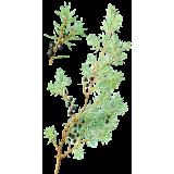 Genévrier baies en gélules (Juniperus communis)