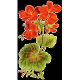 Géranium Robert en gélules (Geranium robertianum)
