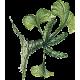 Ginkgo Biloba feuille bio en gélules (circulation cérébrale)