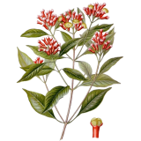 Clous de Girofle en gélules (Eugenia caryophyllata)
