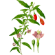 Baies de Goji en gélules (Lycium barbarum tibeticum)