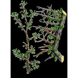 Guggul (Commiphora mukul) en gélules