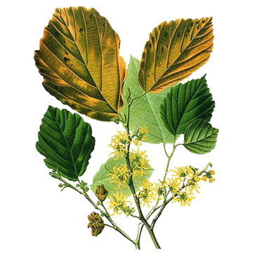 https://www.abcdelanature.com/2523-thickbox/hamamelis-feuille-gelules.jpg