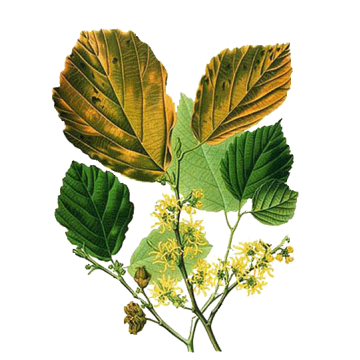 https://www.abcdelanature.com/2524-thickbox/hamamelis-bio-gelules.jpg
